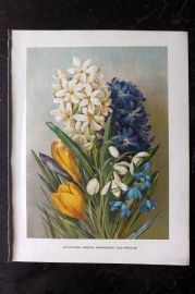 Wright C1900 Antique Botanical Print. Hyacinths - Crocus - Snowdrops and Scillas